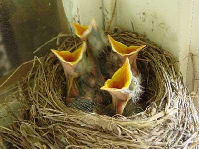 birdsopeningmouthwide
